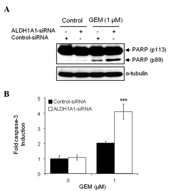 Aldehyde dehydrogenase 1A1 (ALDH1A1) knockdown enhances apoptotic cell death by gemcitabine (GEM). MIA PaCa-2 cells were transfected with ALDH1A1-siRNA or control-siRNA for 48 h, and then further treated with 1 μ M GEM for 48 h. (A) Western blot analysis for the detection of poly(ADP-ribose) polymerase (PARP) cleavage was used to measure apoptotic cell death. Anti-α-tubulin antibody was used for loading and transfer control. (B) A caspase-3 activity assay was also used to determine apoptotic cell death. Error bars represent the standard deviation. *** P