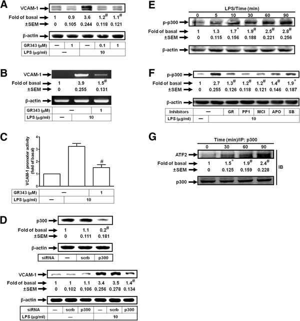 LPS induces VCAM-1 expression via p300. Cells were pretreated with GR343, and then incubated with LPS for ( A ) 8 h or ( B ) 4 h. Levels of VCAM-1 protein ( A ) and mRNA ( B ) expression were determined. ( C ) Cells were pretreated with 1 μM GR343, and then incubated with LPS for 6 h. VCAM-1 promoter activity was determined. ( D ) Cells were transfected with p300 siRNA, and then incubated with LPS for 8 h. Protein levels of p300 and VCAM-1 were determined. ( E ) Cells were treated with LPS for the indicated times. The cell lysates were subjected to Western blot using an anti-phospho-p300 antibody. ( F ) Cells were pretreated with GR343 (GR, 1 μM), PP1 (1 μM), MCI-186 (MCI, 100 μM), APO (100 μM), or SB202190 (SB, 1 μM), and then treated with LPS for 90 min. The cell lysates were subjected to Western blot using an anti-phospho-p300 antibody. ( G ) Cells were treated with LPS for the indicated times. The cell lysates were subjected to immunoprecipitation using an anti-p300 antibody, and then the immunoprecipitates were analyzed by Western blot using an anti-ATF2 or anti-p300 antibody. All figures are representative of three independent experiments, performed in duplicate. Data are expressed as means ± SEM. * P