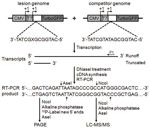 """A schematic diagram depicts the CTAB assay system """"X"""" indicates an S -cdA, S -cdG, dA or dG, which was located on the transcribed strand of TurboGFP gene downstream of the CMV and T7 promoters. The arrowheads indicate the +1 transcription start sites. Run-off RNA and truncated RNA resulting from transcription arrest at a lesion site are indicated. P1 represents a gene-specific primer used for reverse transcribing the run-off transcripts. Only the wild-type sequence of the RT-PCR products for the lesion-containing genome is shown. The RT-PCR products arising from the competitor genome are not depicted. The RT-PCR products were digested with two restriction enzymes (NcoI and AseI) and then subjected to PAGE or LC-MS/MS analyses. The cleavage sites of NcoI and AseI are designated with arrows."""