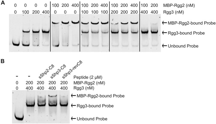 (A) Co-EMSA analysis of competitive DNA binding by MBP-Rgg2 and Rgg3 using various protein concentrations. (B) Co-EMSA analysis of competitive DNA binding by Rgg proteins in the presence of pure ( > 95%) sSHP-C8 peptides. sSHP3-revC8 was included as a control. All reaction mixtures contained 10 nM Pshp3 probe.
