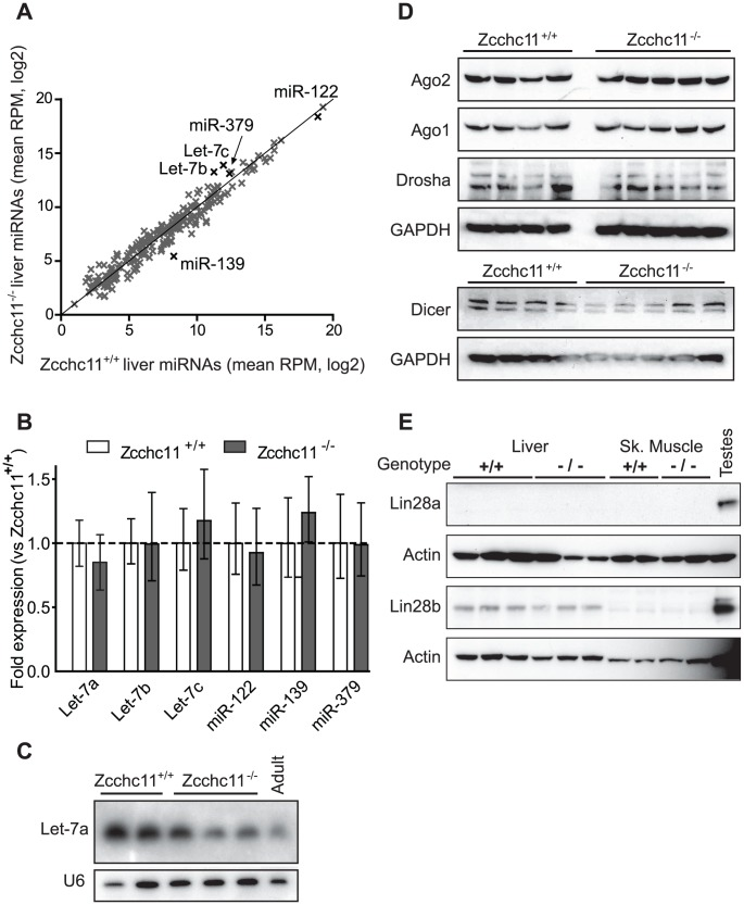 Zcchc11 deficiency does not affect quantities of mature miRNAs or miRNA–related proteins in the liver. Three deep sequencing libraries were created from livers of sex- and littermate-matched 8-day-old Zcchc11 +/+ or Zcchc11 −/− mice. (A) Mature miRNA content, expressed as reads per million (RPM) was compared for wild type and Zcchc11-deficient livers (correlation coefficient, r = 0.975). (B) Quantitative RT-PCR was used to measure the expression of several miRNAs including some implicated in Zcchc11 pre-miRNA uridylation (Let-7), those highly expressed in the livers (miR-122), and those showing trends towards change in the deep sequencing data (miR-139 and miR-379), revealing no difference between genotypes. (C) As another approach to examining Let-7 content, Let-7a in the livers of 8-day old mice was measured by Northern blotting, and did not increase due to Zcchc11 deficiency. An adult wild type mouse was also included for comparison. (D) Immunoblots for RISC-related proteins in tissue homogenates were prepared from the livers of 8 day-old mice, showing no differences due to genotype. (E) Immunoblots for Lin-28 family members in the livers and skeletal muscles of 8 day old Zcchc11 +/+ and Zcchc11 −/− mice revealed no effects of Zcchc11 deficiency. Actin was measured as a loading control. For all blots, each lane represents the RNA or protein from a separate individual of the indicated age and genotype.