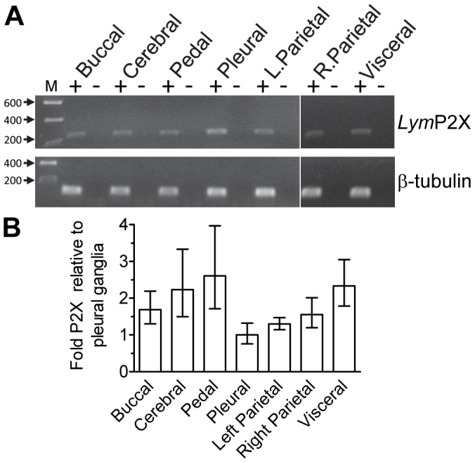 Lym P2X is widely expressed in Lymnaea CNS. (A) RT-PCR using primers for Lym P2X (primer pair 8 ( Table 1 ) and β-tubulin (primer pair 9).+indicates PCR reactions on cDNA samples reverse transcribed from RNA prepared from the various ganglia indicated. – indicates negative control reactions where reverse transcriptase had been omitted from the cDNA synthesis reaction to control for genomic DNA contamination. M = molecular mass ladder (size in kb). (B) Quantitative PCR data showing the relative expression levels of Lym P2X in various ganglia (normalised to pleural ganglia), n = 3 independent reactions for each sample.