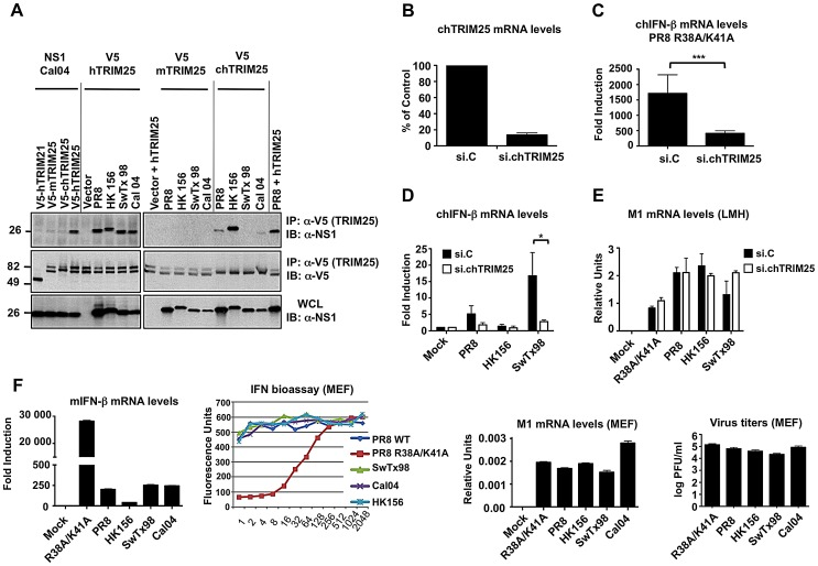 Influenza A Virus NS1 interacts with TRIM25 in a species-specific manner. ( A ) HEK293T cells were transfected with V5-tagged mouse TRIM25 (V5-mTRIM25), human TRIM25 (V5-hTRIM25) or chicken TRIM25 (V5-chTRIM25) together with NS1-A/California/04/09 (Cal04) (left), or NS1-PR8, NS1-A/Hong Kong/156 (HK156), NS1-A/Swine Texas/98 (SwTx98), or NS1-Cal04 (right panel). Empty vector and V5-tagged human TRIM21 were used as negative controls. Whole-cell lysates (WCLs) of HEK293T cells were subjected to immunoprecipitation (IP) using anti-V5 antibody, followed by immunoblotting (IB) with anti-NS1. ( B–E ) TRIM25 is important for virus-induced IFN-β production in chicken cells. Chicken LMH cells were transiently transfected with non-silencing control siRNA (si.C), or with a siRNA specific for chicken TRIM25 (si.chTRIM25). At 40 h posttransfection, cells were infected with recombinant influenza viruses expressing the NS1 RNA-binding mutant R38A/K41A ( C ), or NS1 from PR8, SwTx98, or HK156 ( D ) at an MOI of 0.1 for 24 h. Knockdown was confirmed by determining chTRIM25 mRNA levels ( B ). Furthermore, the IFN-β ( C and D ) and viral M1 ( E ) mRNA levels were assessed by qPCR and the values were normalized to chicken GAPDH. ( F ) IFN induction and viral replication in murine (MEF) cells. 12 hours postinfection, IFN-β (far left panel) and viral M1 (right panel) mRNA levels were assessed by qPCR from MEFs infected with the different NS1 recombinant viruses at an MOI of 2. Values were normalized to mouse actin. IFN protein was quantified by VSV-GFP bioassay on L929 cells treated with 2-fold dilutions of post-influenza virus supernatants from MEF cells (left panel). Relative fluorescence values reported on the y-axis represent the levels of VSV-GFP replication. High IFN concentrations in the supernatants correspond to low levels of VSV-GFP replication (low fluorescence values). Each sample was assayed in triplicate, and results are representative of two independent experiments. Superna