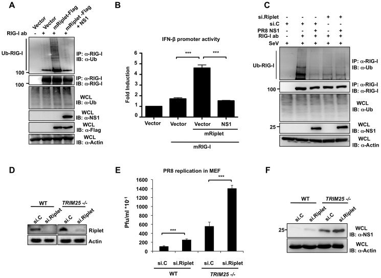 NS1 inhibits the Riplet-dependent RIG-I ubiquitination and IFN induction in murine cells. ( A ) Mouse Hepa 1.6 cells were transfected with vector or Flag-tagged mRiplet with or without NS1-PR8. WCLs were subjected to IP with RIG-I antibody, followed by IB with anti-Ub or anti-RIG-I antibody. Expression of mRiplet, NS1, and ubiquitin (Ub) was determined in the WCLs by IB with anti-Flag, anti-NS1 or anti-Ub antibody. ( B ) Mouse Hepa1.6 cells were transfected with IFN-β luciferase reporter plasmid together with empty vector or mRIG-I together with or without mRiplet and NS1-PR8. At 24 h posttransfection, cells were lysed and subjected to luciferase assay. Data shown is representative of 3 independent experiments and depicted is the mean ± SD (n = 3). ( C ) Influenza NS1 protein specifically inhibits the Riplet-dependent ubiquitination of mouse RIG-I. Hepa1.6 cells were transiently transfected with non-silencing control siRNA (si.C), or with a siRNA specific for mouse Riplet (si.Riplet) together with empty vector or NS1-PR8. At 24 h posttransfection, cells were infected with SeV (50 HA units/ml) for 22 h. WCLs were used for IP with anti-RIG-I antibody, followed by IB with anti-Ub or anti-RIG-I antibody. ( D–F ) Knockdown of endogenous Riplet in mouse embryonic fibroblasts enhances influenza A virus replication. WT or TRIM25 −/− MEFs were transfected with non-silencing control siRNA (si.C), or with a siRNA specific for mouse Riplet (si.Riplet). At 30 h posttransfection, cells were infected with recombinant A/PR/8/34 WT virus (MOI 0.1). Knockdown of endogenous Riplet was confirmed by RT-PCR ( D ). Supernatants were assayed for progeny virus yields 24 h postinfection in standard plaque titrations ( E ). Virus yields are depicted in Pfu/ml. The results of three independent experiments are shown. Furthermore, viral NS1 protein expression was determined in the WCLs of infected cells ( F ).