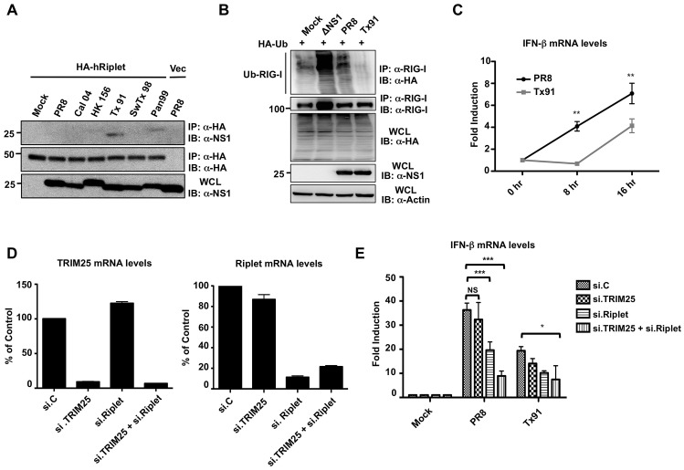 NS1 proteins from human influenza strains bind and inhibit human Riplet. ( A ) HEK293T cells were transfected with empty vector or HA-tagged human Riplet (HA-hRiplet). At 30 h posttransfection, cells were either mock-treated, or infected with the indicated recombinant A/PR/8/34 viruses at an MOI of 2. 18 h later, WCLs were subjected to IP with anti-HA antibody, followed by immunoblotting using the indicated antibodies. ( B ) Tx91 recombinant virus suppresses the endogenous RIG-I ubiquitination more potently than PR8 virus. HEK293T cells, that had been transfected with HA-tagged ubiquitin, were either mock-treated, or infected with ΔNS1 PR8, PR8 WT, or Tx91-NS1 recombinant virus at an MOI of 2 for 18 h. WCLs were subjected to IP with anti-RIG-I antibody, followed by IB with anti-HA or anti-RIG-I antibody. Expression of HA-ubiquitin, viral NS1, and Actin was further determined in the WCLs. ( C ) A549 cells were infected with PR8-NS1 or Tx91-NS1 recombinant virus at an MOI of 0.1. Cells were collected at the indicated time points and IFN-β mRNA was measured by qPCR. ( D and E ) A549 cells were transiently transfected with non-silencing control siRNA (si.C), or with siRNA specific for TRIM25 (si.TRIM25), Riplet (si.Riplet), or both. At 40 h posttransfection, cells were infected with PR8 WT or Tx91 recombinant virus at an MOI of 2 for 30 h. The mRNA levels of TRIM25 and Riplet were measured by qPCR for analyzing their knockdown efficiency ( D ). Furthermore, IFN-β mRNA levels were assessed by qPCR ( E ). Results are triplicates from 3 independent experiments. NS; statistically non-significant.