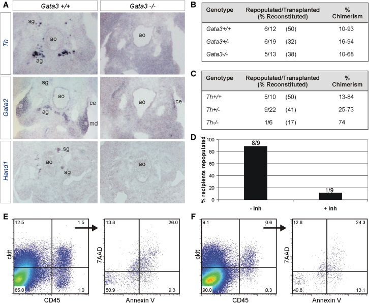 Gata3 Regulation of AGM HSCs Is Secondary to Its Role in the Sympathetic Nervous System (A) In situ hybridization with riboprobes for Th , Gata2 , and Hand1 on Gata3 +/+ and Gata3 −/− E11.5 embryo sections. (B) Summary of repopulation analysis of recipients injected with uncultured E11/11.5 AGM cells (1 ee) from Gata3 +/+ , Gata3 +/− , and Gata3 −/− embryos that had received catecholamine derivatives in vivo through the drinking water from E8.5. See also Figure S2 . (C) Summary of repopulation analysis of recipients injected with uncultured E11/11.5 AGM cells (1 ee) from Th +/+ , Th +/− , and Th −/− embryos. See also Figure S2 . (D) Percentage of recipients repopulated with wild-type E11.5 AGMs that had been cultured in the presence or absence of a Th inhibitor. The number of repopulated/total recipients is indicated above each bar. (E and F) Flow cytometry analysis of ckit and CD45 expression on cells from E11.5 wild-type AGMs cultured in the absence (E) or presence (F) of a Th inhibitor. The percentage of apoptotic cells within the ckit+CD45+ population is shown.