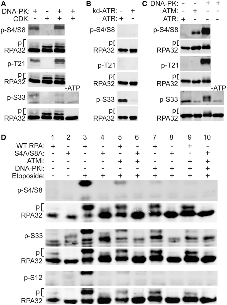 PIKK phosphorylation of RPA32. ( A–C ) In vitro phosphorylation of RPA32 with purified CDK, PIKKs or kinase-dead ATR, as indicated above each lane. Total RPA32 and phospho-specific forms were detected with indicated antibodies by western blot. Phosphorylated forms migrate slower (indicated by 'p'). In panels A and C, control reactions lacking ATP are shown. ( D ) UM-SCC-38 cells expressing WT or S4A/S8A RPA32 were treated for 2 h with 100 µM etoposide, and with 10 µM KU55933 (ATMi), 20 µM NU7026 (DNA-PKi) 1 h prior to etoposide and added back after etoposide removal or mock treated as indicated, whole cell extracts were prepared and RPA32, and specific phospho-forms, were detected by western blot using indicated antibodies.