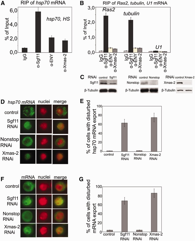 Sgf11 is associated with mRNAs of several genes, and its RNAi knockdown interferes with general mRNA export. ( A ) RIP experiments with hsp70 mRNA after heat shock were performed using antibodies against Sgf11 or components of the mRNA-interacting AMEX complex (ENY2, Xmas-2); nonimmune IgG was used as control. The results are shown as a percentage of input. ( B ) Sgf11 binds to mRNAs of Ras and tubulin genes under normal conditions. The U1 snRNA was used as a control. Antibodies used in RIP experiments were the same as in Figure 3 A. The results are shown as a percentage of input. ( C ) The level of Sgf11, Nonstop and Xmas-2 knockdown in experiments shown in Figures 3 D–3G as estimated by western blot analysis in cells treated with GFP dsRNA (control) or dsRNA corresponding to Sgf11 and Nonstop. Tubulin was used as a loading control. ( D ) RNAi knockdown of Sgf11, but not Nonstop, interferes with hsp70 mRNA export after heat shock. Cells were treated with GFP dsRNA (control) or dsRNA corresponding to Sgf11 and Nonstop. Xmas-2 RNAi knockdown was performed as a positive control. Representative examples of the distribution of hsp70 mRNA (green staining) and cell nuclei (red staining) and corresponding merged images are shown for control cells and cells after Sgf11, Nonstop or Xmas-2 knockdown (magnification, ×1000). The hsp70 transcript was detected by RNA FISH using an Alexa 488-labeled probe; the nuclei were stained with DAPI. The images were recolored in Photoshop for better visualization. ( E ) Quantitative presentation of the results of experiments shown on Figure 3 D. Bars show the percentage of cells with disturbed hsp70 mRNA nuclear export (about 200 cells per RNAi experiment were examined). ( F ) RNAi knockdown of Sgf11, but not Nonstop, interferes with general mRNA export. Cells were treated with GFP dsRNA (control) or dsRNA corresponding to Sgf11 and Nonstop. Xmas-2 RNAi knockdown was performed as a positive control. Representative examples of the distributi