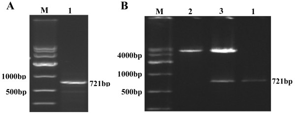 Identification of PHD3. ( A ) Electrophoresis of full-length target gene RT-PCR product; M: <t>DNA</t> Marker DL10,000, 1: PHD3. ( B ) Hind III and <t>Xho</t> I digestion and electrophoresis of pcDNA 3.1(+)-PHD3 eukaryotic expression vector; M: DNA Marker DL10,000, 1: PHD3, 2: pcDNA 3.1(+) plasmid digested by Hind III and Xho I, 3: pcDNA 3.1(+)-PHD3 plasmid digested by Hind III and Xho I.