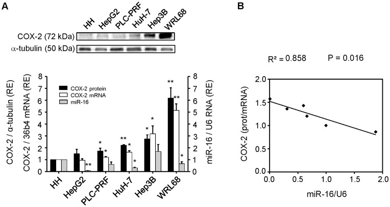 miR-16 and COX-2 correlate inversely in HCC cell lines. Cells were plated in 100-mm dishes and grown to 60–70% confluence in culture medium supplemented with 10% FBS. ( A ) Total cellular extracts were prepared from HCC cells and protein (30–50 µg/lane) was analyzed by Western blot. A representative Western blot showing COX-2 protein. The expression of target protein was normalized to that of α-tubulin. Densitometric analysis of COX-2 expression (black bars) is referring to HH as 1 and expressed as relative expression (RE). Total RNA was prepared from HCC cell lines and COX-2 mRNA was analyzed by real-time PCR. COX-2 mRNA amounts (white bars), normalized to the expression of 36b4 mRNA, and miR-16 expression (grey bars), normalized against U6 RNA levels, were calculated. Values represent fold change relative to human hepatocytes (HH) as 1. Data are reported as means±SD of three independent experiments. ** p