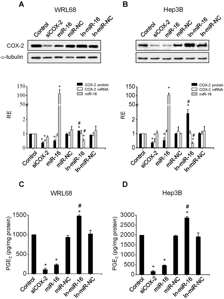 miR-16 regulates COX-2 expression in HCC cell lines. WRL68 and Hep3B cells were transfected with: 30 nM siRNA anti-COX2 (siCOX-2) or 50 nM of miR-16, miR-16 inhibitor (In-miR-16), miR negative control (miR-NC) or miR negative control inhibitor (In-miR-NC). ( A–B ) COX-2 protein was analyzed by Western blot 48 h after transfection and normalized against α-tubulin protein. COX-2 mRNA and miR-16 expression were analyzed by real-time PCR. COX-2 mRNA and miR-16 expression were normalized against 36b4 mRNA and U6 RNA levels, respectively. Relative expression of each sample refers to control as 1 (cells transfected only with lipofectamine). ( C–D ) PGE 2 concentration was determined by enzyme immunoassay in the supernatant of the cells. Data are reported as means±SD of four independent experiments. *p