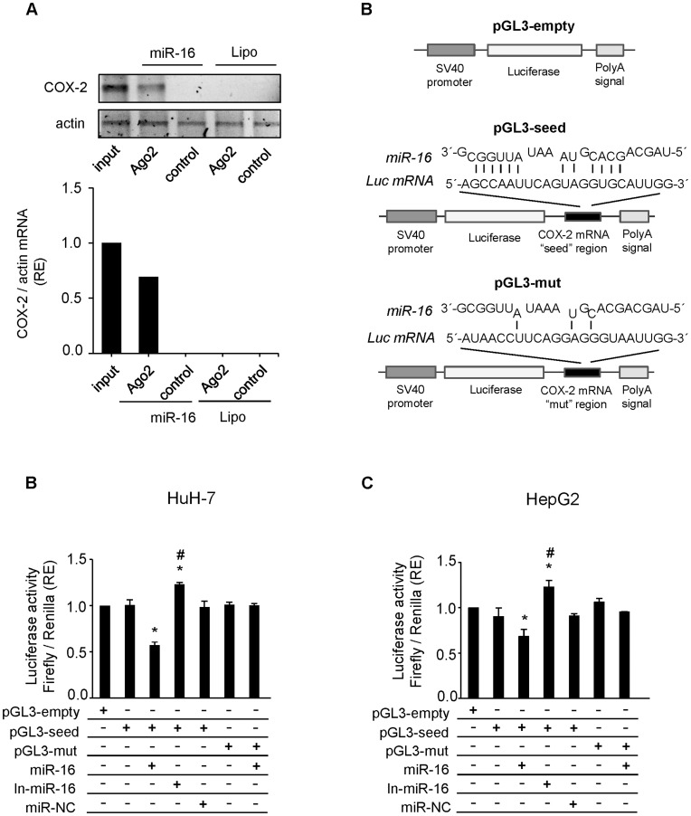 miR-16 binds COX-2 mRNA and inhibits its translation. ( A ) WRL68 cell extracts (500 µg per lane) were immunoprecipitated with Ago-2 or IgG antibodies. Bound RNA was harvested with TRIzol reagent, reverse transcriptased, and PCR amplified with COX-2 primers. PCR products were visualized by electrophoresis in SYBR Safe DNA gel stain agarose gels. The presence of COX-2 mRNA in WRL68 cell transfected with miR-16 or Lipofectamine after Ago2 immunoprecipitation was assessed, and fold differences were plotted. Input, total mRNA in cell extract; and control, bound mRNA after immunoprecipitation with IgG antiboby. ( B ) Scheme of pGL3-empty, pGL3-seed and pGL3-mut reporter vectors. In pGL3-seed, the putative binding site of miR-16 on COX-2 mRNA 3′-UTR region (as detected by RNAhybrid software) was introduced downstream luciferase gene. In pGL3-mut this region was mutated in order to avoid the binding between miR-16 and Luc mRNA. ( C–D ) A luciferase assay was carried out on HuH-7 and HepG2 cell lines using pGL3-seed and pGL3-mut reporter vectors. Firefly luciferase activity was evaluated 48 h after co-transfection with pGL3-empty/seed/mut (750 ng), miR-16 (50 nM), In-miR-16 (50 nM) and miR-NC (50 nM) as indicated. Data were normalized against renilla luciferase activity (all samples were co-transfected with 50 ng pRL vector and refer to the positive control, pGL3 empty vector). Data are reported as means±SD of three independent experiments. *p