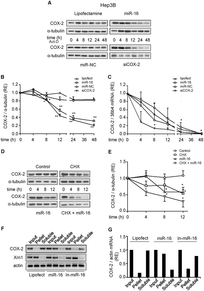 Effect of miR-16 on COX-2 mRNA and protein stability. Hep3B cells were transfected with 50 nM miR-16 or miR-NC, or 30 nM siCOX-2. 5 µg/ml actinomycin-D (Act D) or 10 µg/ml cycloheximide (CHX) were added after transfection. ( A–B ) COX-2 protein was analyzed by Western blot at different time after actinomycin-D treatment. Corresponding densitometry analysis is shown and the relative expression of each sample is related to sample at 0 h as 1. ( C ) mRNA COX-2 levels were analyzed by real time PCR. COX-2 mRNA amounts were calculated as relative expression and normalized to the expression of 36b4 mRNA. Values represent fold change relative to sample at 0 h. ( D–E ) COX-2 protein levels were analyzed by Western blot in the presence or absence of cycloheximide. Corresponding densitometric analysis is shown and the relative expression of each sample is related to the value at 0 h as 1. F) Hep3B cells were transfected with 50 nM miR-16, miR-16 inhibitor (In-miR-16) or lipofectamine and permeabilized with digitonine to obtain soluble and pellet fractions enriched in PB as described in Methods. RNA was isolated from each fraction with Trizol reagent, reverse transcriptased, and PCR amplified with COX-2, Xrn1 and actin primers. Input, RNA extracted from cells prior to fractionation. PCR products were visualized by electrophoresis in SYBR Safe DNA gel stain agarose gels. G) The presence of COX-2 mRNA in soluble and PB fractions was assessed and fold differences were plotted. Data are reported as means±SD of three independent experiments. **p