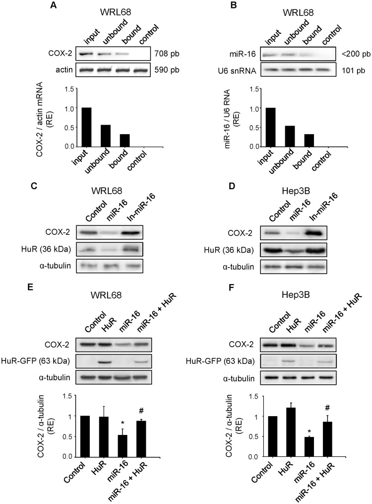 HuR antagonizes the downregulation of COX-2 expression caused by miR-16 in hepatoma cell lines. WRL68 cell extracts (500 µg per lane) were immunoprecipitated with HuR or IgG antibodies. Bound RNA was harvested with TRIzol reagent, reverse transcriptased, and PCR amplified with COX-2 ( A ) or miR-16 primers ( B ). PCR products were visualized by electrophoresis in SYBR Safe DNA gel stain agarose gels. The abundance of the transcripts present in WRL68 cells after HuR immunoprecipitation was assessed, and fold differences were plotted. Input, total mRNA in cell extract; unbound, unbound mRNA after immunoprecipitation with HuR antibody; bound, bound mRNA after immunoprecipitation with HuR antibody; and control, bound mRNA after immunoprecipitation with IgG antiboby. ( C–D ) WRL68 and Hep3B cell lines were transfected with miR-16 or In-miR-16 (50 nM). COX-2 and HuR protein levels were analyzed by Western Blot. ( E–F ) WRL68 and Hep3B cell lines were cotransfected with miR-16 (50 nM) and pcDNA3-HuR-GFP expression vector (4 µg). COX-2 and HuR protein levels were analyzed by Western Blot. Data are reported as means±SD of three independent experiments. *p