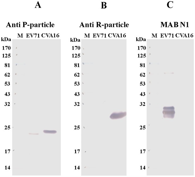 Western blot analysis of reactivity of enterovirus antigens with mouse anti-sera raised against formalin-inactivated CVA16 particles. R-particles derived from CVA16 and EV71 were separated on a NuPAGE 4–12% Bis-Tris Gel and analyzed using different antibodies: ( A ) anti-sera generated from formalin-inactivated CVA16 P-particles; ( B ) anti-sera generated from formalin-inactivated CVA16 R-particles; and ( C ) EV71-specific monoclonal antibody MAb N1.