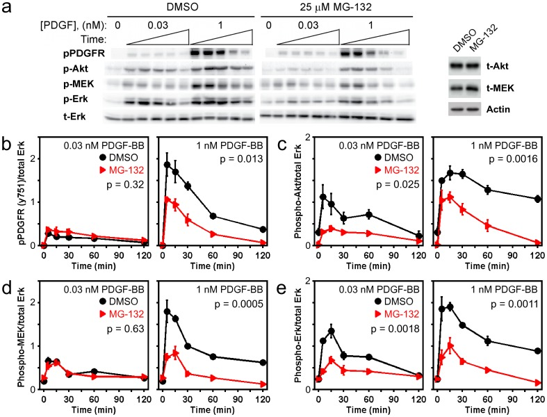 MG132 treatment depresses PDGF-stimulated phosphorylation of ERK and also reduces the activation of upstream signaling components. a ) Immunoblot results, representative of 3 independent experiments, showing the phosphorylation kinetics of PDGF β-receptor Tyr 751 (pPDGFR), <t>Akt1/2/3</t> Ser 473 (pAkt), MEK1/2 Ser 217 /Ser 221 (pMEK), and ERK1/2 Thr 202 /Tyr 204 (pERK) in cells pretreated with either DMSO or 25 µM MG132 for 6 h and then stimulated with the indicated concentration of PDGF-BB. Stimulation times are 5, 15, 30, 60, and 120 minutes. Total ERK1/2 (tERK) serves as a loading control. For each antigen, the DMSO and MG132 bands are cropped from the same gel. At right it is shown that total Akt (tAkt) protein expression is not affected by MG132 treatment, whereas total MEK1/2 (tMEK) is only modestly increased in MG132-treated cells, relative to β-actin loading control. b-e ) Quantification of the phosphorylation kinetics represented in a . Each readout is normalized by total ERK and expressed as mean ± s.e.m. ( n = 3): b , pPDGFR; c , pAkt; d , pMEK; e , pERK. The indicated p value for each time course is from two-way ANOVA analysis comparing MG132-treated and control measurements.