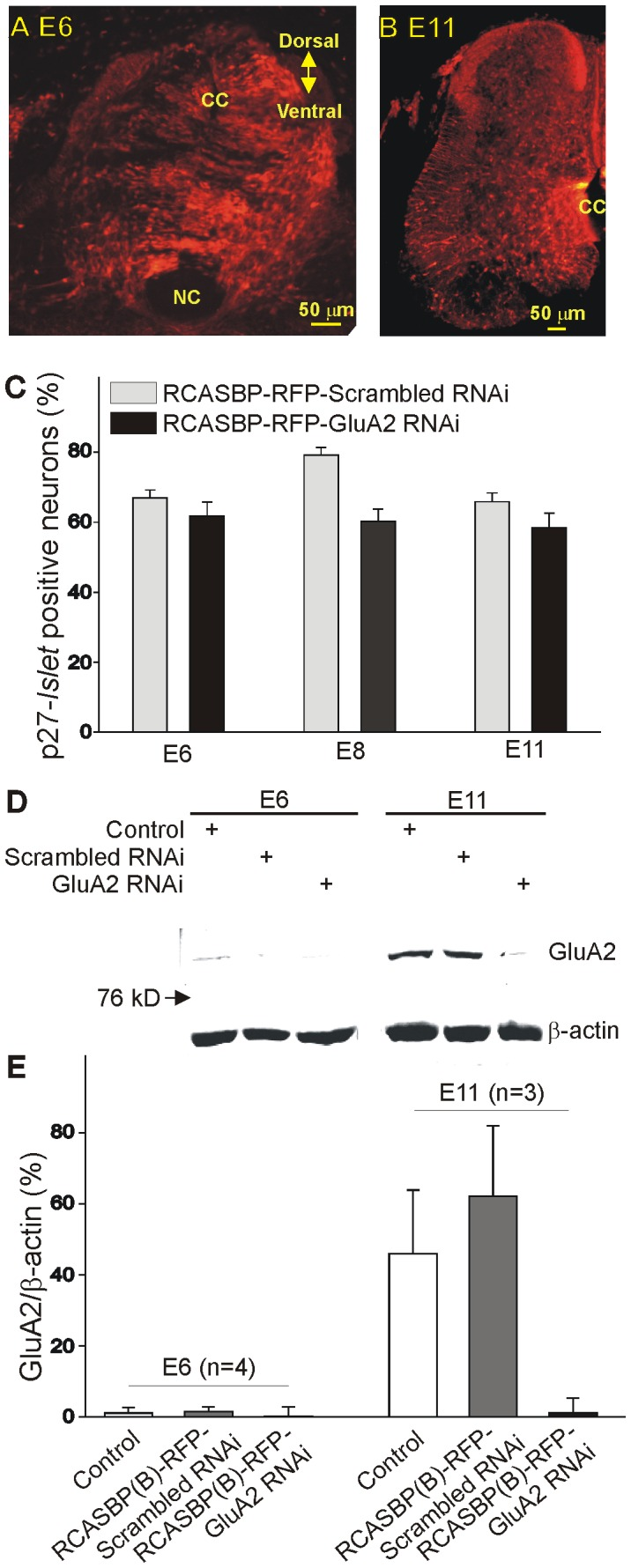Effect of RCASBP(B)-RFP-GluA2 RNAi infection on chicken embryos. A–B ) Expression of red fluorescence protein (RFP) transgene in the lumbar spinal cord of E6 ( A ) and E11 ( B ) chicken embryos following retroviral infection with an RCASBP(B)-RFP-GluA2 RNAi construct. Embryos infected with the RCASBP(B)-RFP-GluA2 RNAi construct show strong fluorescent labeling throughout the whole spinal cord cross section. cc = central canal, nc = notochord. C ) Averaged number of labeled neurons for the RCASBP(B) viral protein p27 gag as a percent of the total number of neuron labeled with the motoneuron marker <t>Islet1/2</t> in chicken embryos infected with an RCASBP(B)-RFP-scrambled RNAi or RCASBP(B)-RFP- GluA2 RNAi construct. Lumbar ventral neurons were isolated from E6, E8 or E11 chicken embryos and immunolabeled with p27 gag and Islet1/2 in order to assess the extent of viral infection of spinal motoneurons. Notice that ≥60% of infected cells also tested positive for the motoneuron marker Islet1/2 at all ages tested. D ) Representative example of Western Blot data collected from the E6 and E11 ventral spinal cords from control chicken embryos (non-infected) or embryos infected with an RCASBP(B)-RFP-scrambled RNAi or RCASBP(B)-RFP-GluA2 RNAi constructs. The anti-GluA2 antibody detected a band with a relative molecular weight of ∼102 kD. To normalize for changes in protein loading in each well, membranes were reprobed for β-actin (∼42 kD). Infection of chicken embryos with an RCASBP(B)-RFP- GluA2 RNAi construct causes a significant reduction in GluA2 expression at E11 as determined by immunoblot analysis. E ) Expression of GluA2 protein as a function of β-actin in chicken ventral spinal cords. The age-dependent increase in GluA2 protein expression between E6 and E11 chicken spinal cords was reversed by infection of chicken embryos with an RCASBP(B)-RFP- GluA2 RNAi construct. In these experiments, RCASBP(B)-RFP-scrambled RNAi or RCASBP(B)-RFP-GluA2 RNAi viral particles were inj