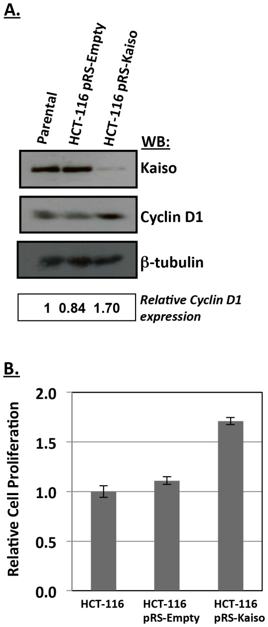Kaiso depletion alters cyclin D1 expression and cell proliferation in HCT116 cells. ( A ) Depletion of endogenous Kaiso with Kaiso-specific siRNA resulted in an ∼ 1.7-fold increase in cyclin D1 protein levels in HCT116 cells. ( B ) Kaiso depletion in HCT116 cells resulted in an ∼ 2-fold increase in cell proliferation.