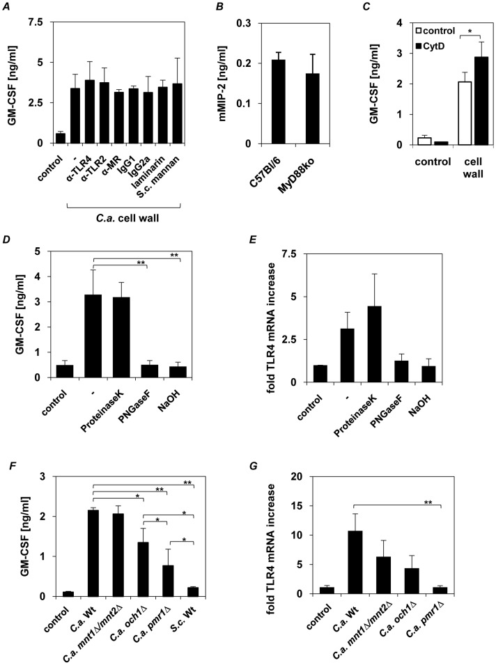 Epithelial cytokine induction is independent of TLR2, TLR4, dectin-1 and MR. Human epithelial cells (1×10 6 ) were pre-incubated with ( A ) 10 µg/ml anti-TLR2, anti-TLR4, anti-MR antibodies, laminarin (100 µg/ml) or S. cerevisiae mannan (40 µg/ml) 2 h before epithelial cells were stimulated with C. albicans walls (1×10 8 ) for 24 h. ( B ) Oral epithelial cells (3×10 5 ) isolated from wild-type and MyD88−/− mice were incubated for 24 h with isolated walls (3×10 7 ). ( C ) Human epithelial cells (1×10 6 ) were incubated with 5 µM cytochalasin D for 30 min prior stimulation with C. albicans walls (1×10 8 ) for 24 h ( D and E ) Cell wall mannoproteins were deproteinized by incubating C. albicans walls (1×10 8 ) with proteinase K or deglycosylated by PNGaseF digestion (cleaves N- glycosylation) or NaOH treatment (alkaline β-elimination reduces O -glycosylation). Human epithelial cells (1×10 6 ) were incubated for 24 h with isolated walls (as positive control) or proteinase K-, PNGaseF- and NaOH-treated walls. ( F and G ) Epithelial cells (1×10 6 ) were incubated for 24 h with cell walls (1×10 8 ) isolated from C. albicans wild type (SC5314), N- glycosylation ( och1Δ ), O -glycosylation ( mnt1Δ/mnt2Δ ), N−/O -glycosylation ( pmr1Δ ) mutant strains or non- pathogenic S. cerevisiae . Human GM-CSF and mouse MIP-2 were quantified by ELISA. TLR4 mRNA up regulation in epithelial cells was determined by quantitative RT-PCR. Data are given as relative mRNA expression compared to mRNA expression of PBS-treated control cells (control = 1.0). ( A–G ), n = 3 (± SEM ), * p