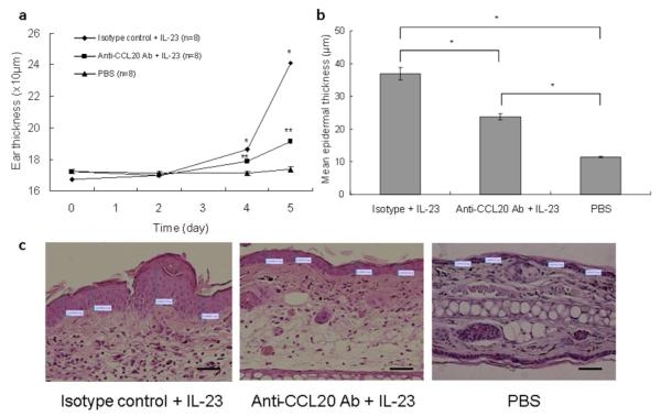 Neutralizing anti-CCL20 monoclonal antibodies inhibit the ear swelling in response to IL-23 injection ( a ) WT mice were injected with neutralizing anti-CCL20 mAb, isotype control, or PBS in ear skin with subsequent measurement of ear thickness throughout the treatment period. *P