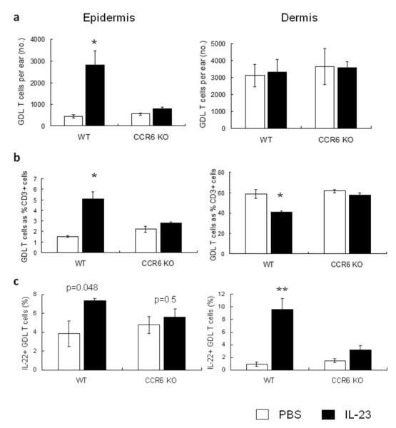 CCR6 KO mice fail to accumulate IL-22 + , GDL T cells in response to IL-23 injection Following IL-23 injection for 6 days, both WT and CCR6 KO mice were euthanized. Both epidermal and dermal cell suspensions were analyzed by flow cytometry with γδ TCR, CD3, and IL-22 mAbs. ( a ) Total numbers of GDL T cells per PBS- or IL-23-injected ear of WT and CCR6 KO mice were counted. The percentages of CD3 + GDL T cells ( b ) and IL-22 + GDL T cells ( c ) were calculated. *P
