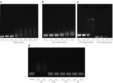 Electrophoretic mobility gel shift assays of siRNA and dsDNA binding to DRBD fusion proteins or synthetic peptides. 1 μmol/l siRNA or dsDNA was incubated with varying concentrations of protein and their interaction measured by migration on a 6% acrylamide gel followed by staining with <t>ethidium</t> bromide. ( a , b ) Gel shift of siRNA binding to DRBD or PPS-DRBD with increasing molar ratios of protein to siRNA. ( c ) Gel shift of either siRNA or dsDNA binding to PTD-DRBD at different molar ratios. ( d ) Gel shift of 1 μmol/l siRNA interacting with synthetic peptides at either 20 or 40 μmol/l. DRBD, double-stranded RNA-binding domain; dsDNA, double-stranded DNA; PTD, protein transduction domain; siRNA, small interfering RNA.