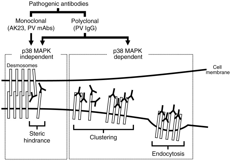 Model for PV pathogenicity. Monoclonal pathogenic antibodies, such as AK23 and monovalent PV mAbs (scFv) cloned from patients, cause loss of adhesion primarily through steric hindrance, which does not require signaling through <t>p38</t> <t>MAPK.</t> In contrast, PV IgG induce two separate pathogenic events. In addition to the steric hindrance caused by a portion of antibodies contained in PV IgG, the polyclonal nature of PV IgG causes clustering and endocytosis of Dsg3 in a p38 MAPK dependent manner.