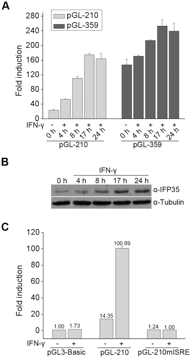 ISRE is responsible for IFN-γ induced IFP35 promoter activation. ( A ) HeLa cells were transfected with pGL-210 or pGL-359 and stimulated with IFN-γ (10 ng/ml) for different time periods. The response to IFN-γ is presented as fold induction relative to pGL3-Basic. ( B ) HeLa cells were stimulated with IFN-γ (10 ng/ml) for different time periods. The expression of IFP35 and α-tubulin was monitored by Western blot analysis. ( C ) HeLa cells were transfected with the pGL3-Basic, pGL-210 or pGL-210mISRE constructs. At 36 h after transfecion, cells were incubated with medium alone or with IFN-γ (10 ng/ml) for 12 h before luciferase assays were performed.