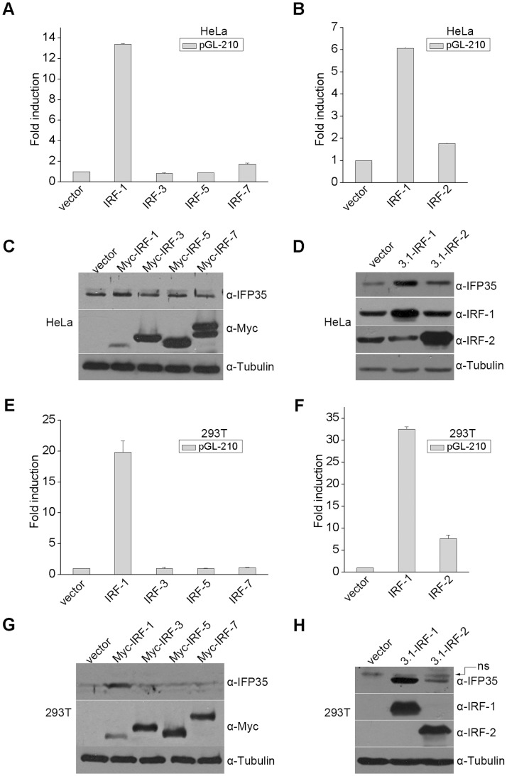 IRF-1 and IRF-2 upregulate IFP35 expression in HeLa and 293T cells. ( A and B ) HeLa cells were co-transfected with pGL-210 and the indicated expression plasmids. Luciferase assay was performed 48 h after transfection. ( C and D ) HeLa cells were transfected with the indicated expression plasmids. At 48 h after transfection, whole cell extracts were prepared and analyzed by Western blot. α-tubulin serves as an internal standard for normalization. ( E and F ) 293T cells were transfected with the indicated expression plasmids. Luciferase assay was performed 48 h after transfection. ( G and H ) 293T cells were transfected with the indicated expression plasmids. Western blot analysis was performed 48 h after transfection.