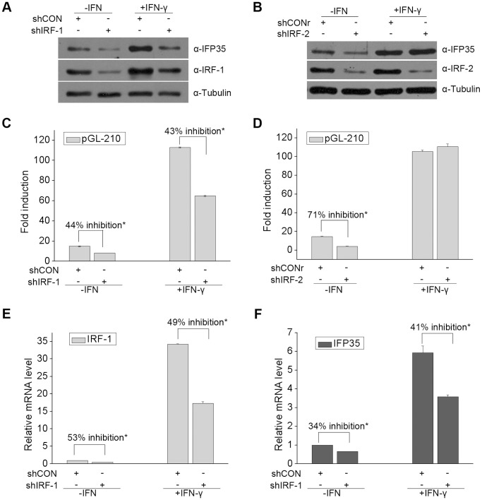 IRF-1 and IRF-2 differentially upregulate IFP35 expression in HeLa cell. ( A ) HeLa cells were transfected with shIRF-1 or shCON. At 36 h after transfection, cells were incubated for 12 h in the presence or absence of IFN-γ (10 ng/ml). Immunoblotting was then performed to examine the protein levels of IFP35, IRF-1 and α-tubulin. ( B ) The experiments were similarly performed as in (A) except that HeLa cells were transfected with shIRF-2 and shCONr. ( C and D ) HeLa cells were co-transfected with pGL-210 and the indicated shRNA expression plasmids. At 36 h after transfection, cells were cultured in the presence or absence of IFN-γ (10 ng/ml) for 12 h before luciferase assays were performed. The response to IFN-γ is presented as fold induction relative to unstimulated cells. Data are the mean and standard error from three experiments. * P