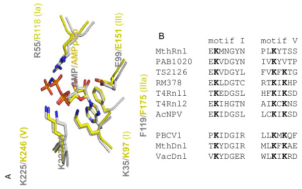 (A) Structural comparison of T4 RNA ligase 2 and archaeal RNA ligase PAB1020 active sites. Two structures were superimposed based on coordinates of pre-bound AMP and ATP homolog (AMPPNP) as well as known conserved amino acids of the ligase active sites. The T4Rnl2 structure is represented in grey and PAB1020 in yellow. The numbers of amino acids in the conserved motifs I-V (in parenthesis) are for T4Rnl2 and PAB1020 ortholog MthRnl, which were determined after sequence alignment of two archaeal enzymes. (B) The sequences of the conserved motifs I and V of MthRnl compared to corresponding motifs in the RNA and DNA ligases as discussed in the text. The listed RNA ligases are from: MthRnl ( Methanobacterium thermoautotrophicum ), PAB1020 ( Pyrococcus abyssi ), TS2126 (bacteriophage Thermus scotoductus ), RM378 (bacteriophage Rhodothermus marinus ), T4Rnl1 and T4Rnl2 (bacteriophage T4), AcNPV ( Autographa californica nucleopolyhedrovirus). And DNA ligases are from: PBCV1 ( Chlorella virus), MthDnl ( Methanobacterium thermoautotrophicum ), VacDnl (Vaccinia virus). The conserved lysines are shown in bold.