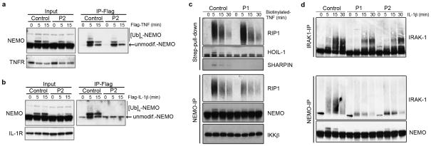 Impaired recruitment of NEMO to cytokine receptors in the patients' fibroblasts a) HOIL-1 deficiency impairs the recruitment of NEMO to the TNF-RSC. Flag-tagged TNF was used to activate and isolate the TNF-RSC. Cells were lysed, TNF-RSC was purified on Flag-affinity resin and complex-associated NEMO was analyzed by immunoblotting. b) HOIL-1 deficiency abolishes NEMO recruitment to the IL-1-RSC. The same strategy as in a) was used, except that Flag-tagged IL-1β was used to stimulate the cells and to isolate the IL-1-RSC. The abundance of TNFR (a) and IL-1R (b), assessed by immunoblotting, was similar in control and patient-derived fibroblasts. c ) HOIL-1 deficiency impairs the interaction between NEMO and polyubiquitinated RIP1 in response to TNF. NEMO (NEMO-IP) was immunoprecipitated from lysates of control and patient fibroblasts treated with biotinylated TNF and analyzed by immunoblotting for NEMO, RIP1, and IKKβ. The total amount of the ubiquitinated forms of RIP1 associated with the TNF-RSC was evaluated by streptavidin pulldown followed by immunoblotting for RIP1. d ) HOIL-1 deficiency impairs the interaction between NEMO and polyubiquitinated IRAK-1 in response to IL-1β. NEMO and IRAK-1 were immunoprecipitated from lysates of IL-1β-treated fibroblasts and subjected to western blotting for NEMO or IRAK-1 as indicated. These data are representative of three experiments.