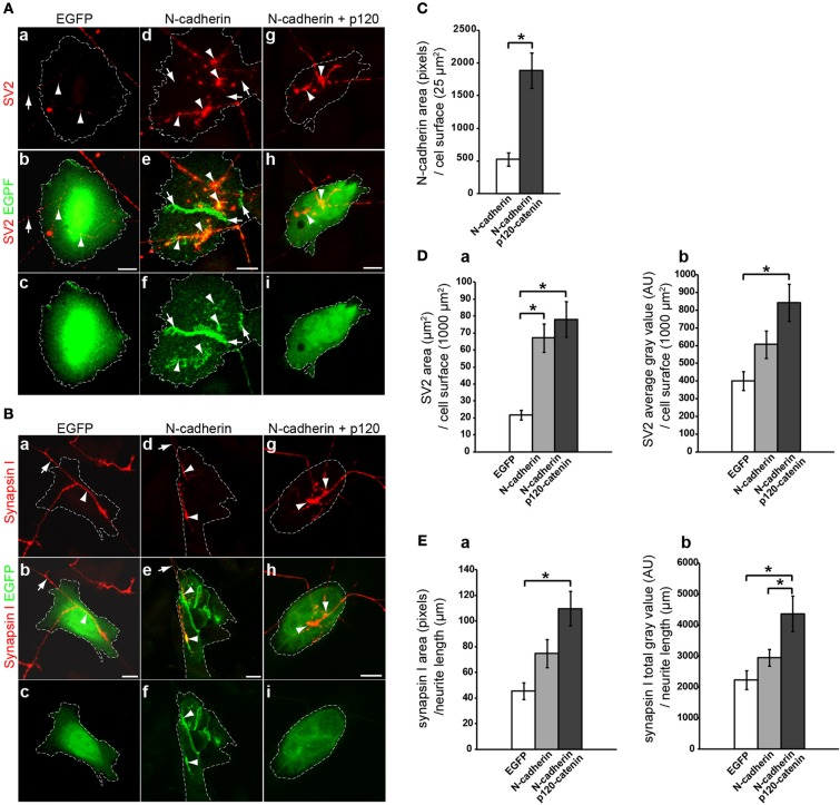 Analysis of N-cadherin-mediated effect on synaptic vesicle accumulation in cholinergic neurons. CHO cells transfected with EGFP, N-cadherin-EGFP, or N-cadherin-EGFP and <t>p120-catenin-EGFP</t> were plated on 5 days old brainstem cholinergic nuclei explants and cocultured for 2 days. Tissue cultures were fixed and immunostained with SV2 (A) or synapsin I (B) antibodies. (A,B) Confocal images of CHO cells transfected with EGFP (a,b,c) , N-cadherin-EGFP (d,e,f) , or N-cadherin-EGFP and p120-catenin-EGFP (g,h,i) . Panels (a) , (d) , and (g) , show SV2 or synapsin I immunostaining (red); panels (b) , (e) , and (h) , show merged images with EGFP fluorescence (green); and panel (c) , (f) , and (i) , show EGFP fluorescence alone. A white dashed line delineates the contour of the transfected CHO cell in each panel. (C) N-cadherin expression levels in CHO cells transfected with N-cadherin or cotransfected with N-cadherin and p120-catenin were measured as pixels of N-cadherin immunolabeling over CHO cell surface area (μm 2 ) (N-cadherin, n = 31 cells; N-cadherin and p120-catenin, n = 27 cells). (D) Analysis of (a) SV2 immunolabeled area (μm 2 ) over transfected CHO cells normalized to CHO cell surface area (μm 2 ), and (b) SV2 average gray value [arbitrary units (AU)] over transfected CHO cells normalized to CHO cell surface area (μm 2 ) [EGFP ( n = 18), N-cadherin ( n = 24), and N-cadherin and p120-catenin ( n = 24)]. (E) Analysis of (a) synapsin I immunolabeled area (pixels) normalized to neurite length (μm) in contact with transfected CHO cells, and (b) synapsin I total gray value (AU) per neurite length (μm) in contact with transfected CHO cells [EGFP ( n = 10), N-cadherin ( n = 14), and N-cadherin and p120-catenin ( n = 12)]. (C) Student's T -test, * p