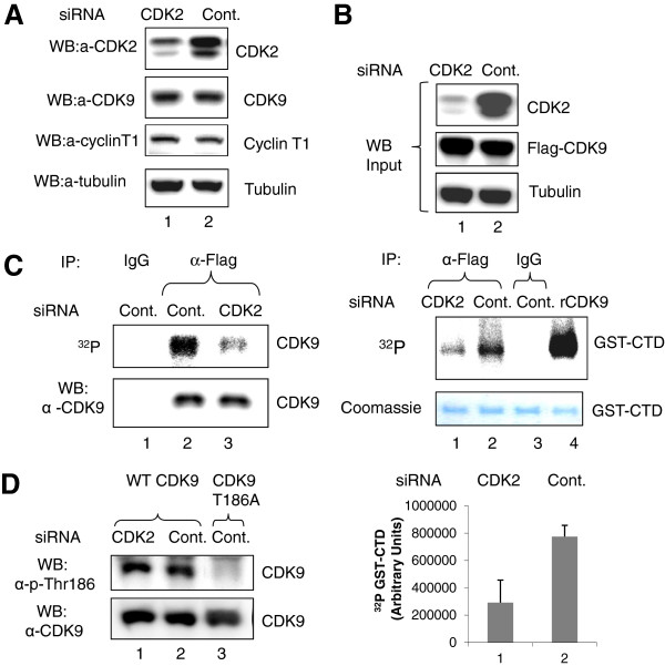 Inhibition of CDK9 activity and phosphorylation by CDK2-directed siRNA. (A-B) Inhibition of CDK2 expression and CDK9 activity. Lysates from 293T cells transfected with CDK2-directed (lane 1) or control siRNA (lane 2) were analyzed by immunoblotting for the expression of CDK2, CDK9, cyclin T1 and tubulin (panel A)Panel B, the cells were also co-transfected with Flag-CDK9 and cyclin T1 expression vectors. Lysates were immunoblotted with antibodies against CDK2, Flag and α-tubulin as loading control (upper panel) or immunoprecipitated with anti-Flag antibodies (lanes 1 and 2) or non-specific IgGs (lane 3) (lower panel). CDK9 activity was analyzed with GST-CTD as substrate. Lane 4, control recombinant CDK9/cyclin T1. GST-CTD is shown as Coomassie stain. Quantification is shown as average from three independent experiments. (C) Inhibition of CDK9 phosphorylation. Lysates from 293T cells transfected with CDK2-directed (lane 3) or control siRNA (lanes 1 and 2) and also with a vector expressing Flag-CDK9 WT as in panel B then pulse-labeled with ( 32 P) were immunoprecipitated with anti-Flag antibodies (lanes 2 and 3) or with non-specific IgGs (lane 1), resolved on 10% SDS PAGE and exposed to a Phosphor imaging device (upper panel) or analyzed by immunoblotting with anti-CDK9 antibodies (lower panel). (D) No effect on CDK9 Thr186 phosphorylation. Lysates from 293T cells transfected CDK2-directed (lane 1) or control siRNA (lanes 2 and 3) and then co-transfected with vectors expressing Flag-CDK9 WT (lanes 1 and 2) or Flag-CDK9 T186A (lane 3) were immunoprecipitated with anti-Flag antibodies and analyzed by immunoblotting with Thr186 phospho-specific or anti-CDK9 antibodies.