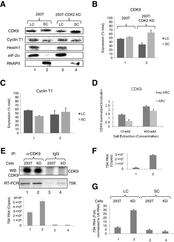 Stable expression of CDK2-directed shRNA induces 7SK RNA expression. (A-C) Effect of CDK2 KD on small and large P-TEFb complexes. Lysates from 293T and 293T-CDK2 KD cells sequentially extracted with low and high salt buffers, were analyzed by immunoblotting for CDK9, cyclin T1, Hexim 1, eIF-2α and RNAPII. Panels B and C show average results from three experiments. (D ) CDK9 inhibitor ARC prevents CDK9 with association with large P-TEFb complex. Lysates from 293T cells untreated or treated with 10 μM ARC and extracted with low salt buffer (10 mM) or high salt buffer (450 mM) were resolved on 10% SDS-PAGE and analyzed by immunoblotting for CDK9 and tubulin. Average CDK9 expression adjusted to tubulin from two separate experiments is shown. (E) CDK2 KD increases the amount of 7SK RNA associated with CDK9. RNA isolated from co-immunoprecipitates with anti-CDK9 antibodies or control IgGs from 239T or 293T-CDK2 KD whole cell lysates was reverse transcribed and analyzed by semi-quantitative (30 cycles, upper panel) or real-time PCR (lower panel). Results are presented as numbers of copies of 7SK RNA. (F) CDK2 KD increases total 7SK RNA amount. 7SK RNA was analyzed in whole cell lysates of 293T or 293T-CDK2 KD cells by real-time PCR using 7SK expression vector as control. Results are presented as numbers of copies of 7SK RNA. (G) CDK2 KD increases 7SK RNA in the large complex fraction. 7SK RNA was analyzed by real-time PCR using U6 RNA as reference. Quantification is shown in triplicates.