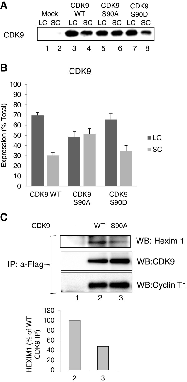Substitution of CDK9 serine 90 for alanine reduces CDK9 association with large P-TEFb complex. 293T cells were transfected with Flag-tagged WT CDK9, CDK9 S90A and CDK9 S90D and also co-transfected with Cyclin T1-expressing vectors. At 48 hrs posttransfection, the cells were lysed with low salt (large complex – LC) buffer followed by high salt buffer (small complex – SC). CDK9 expression was analyzed by Western blotting. ( A) Representative immunoblots. (B) Quantification of CDK9 in large (LC) and small (SC) complexes conducted in two independent experiments. (C) Co-immunoprecipitation analysis. 293T cells were transfected with Flag-tagged WT CDK9 and CDK9 S90A and also co-transfected with Cyclin T1 expressing vectors. At 48 hrs post-transfection, the cells were lysed; CDK9 was immunoprecipitated from cellular lysates with anti-Flag antibodies, resolved on 10% SDS PAGE and analyzed by immunoblotting with antibodies for Hexim1, CDK9 and cyclin T1. Lane 1, mock-transfected control.