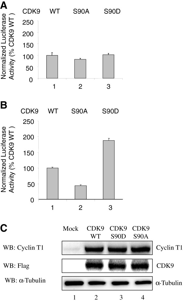 CDK9 Ser 90 substitutions affect Tat-dependent HIV-1 transcription. (A-B) 293T cells were transfected with HIV-1 LTR-Luc expression vector along with WT CDK9, CDK9 S90A and CDK9 S90D expression vectors without (panel A) or with Tat expression vector (panel B). Cells were lysed at 24 hours posttransfection and luciferase activity was measured followed by the measurement of EGFP fluorescence, which was used for the normalization. Quantification is shown for three independent experiments. (C) Expression of CDK9 and cyclin T1. To determine the levels of CDK9 and cyclin T1 expression, 293T cells were transfected with FLAG-tagged WT CDK9, CDK9 S90A and CDK9 S90D and also co-transfected with Cyclin T1 and HIV-1 Tat expression vectors. At 48 hrs post-transfection, the cells were lysed, the lysates were resolved on 10% SDS PAGE and analyzed by immunoblotting with antibodies for cyclin T1, CDK9, and tubulin was used as loading control. Lane 1, mock-transfected control.