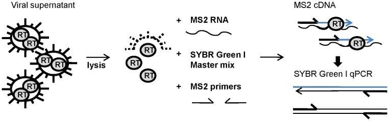 Principle of the SG-PERT assay. Cell-free retrovirus containing supernatant is lysed and added to a reaction mix containing the MS2 RNA template, MS2 complementary primers and a SYBR Green I qPCR mastermix. During a one-step reaction, the reverse transcriptase (RT) enzymes derived from the retroviral particles will convert the MS2 RNA into cDNA and cDNA is subsequently quantified by qPCR amplification of the MS2 cDNA. The amount of synthesized cDNA represents the level of RT activity in the viral supernatant and is thereby a measure of the amount of retroviral particles.