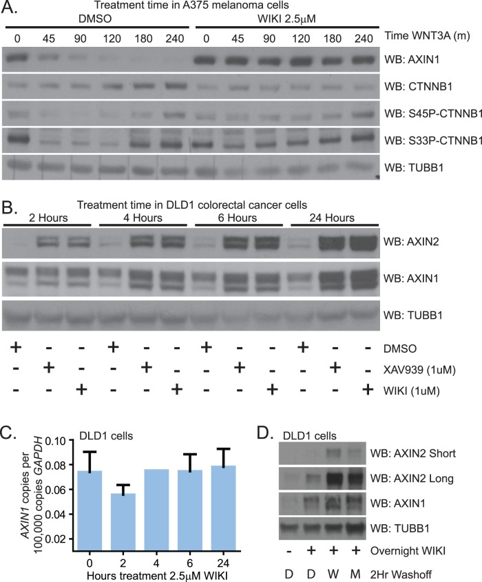WIKI4 increases the steady-state abundance of the Wnt/ß-catenin inhibitory protein, AXIN1. ( A ) WIKI4 prevents degradation of AXIN1 following stimulation with Wnt3A. A375 melanoma cells were stimulated with 10% (vol/vol) Wnt3A CM for the indicated time periods with or without WIKI4 treatment, lysed and analyzed by western blot using the indicated antibodies. ( B ) WIKI4 increases the steady-state abundance of AXIN1 and AXIN2 protein. DLD1 colorectal carcinoma cells were incubated with DMSO, WIKI4 or XAV-939 for the indicated times, lysed and analyzed by western blot. ( C ) WIKI4 does not significantly affect the steady-state RNA abundance of AXIN1. DLD1 colorectal carcinoma cells were incubated with WIK4 for the indicated times, and processed for qPCR to assess changes in the steady-state abundance of AXIN1 transcript. This data is representative of two independent experiments and the error bars represent standard deviation. ( D ) WIKI4-dependent increases in AXIN1 protein abundance can be maintained by treatment with a proteasome inhibitor. DLD1 colorectal carcinoma cells were treated overnight with WIKI4, and after washing were then incubated for two hours with DMSO (D), WIKI4 (W), or the proteasome inhibitor MG132 (M). The cells were lysed and analyzed by western blotting for the indicated antibodies.