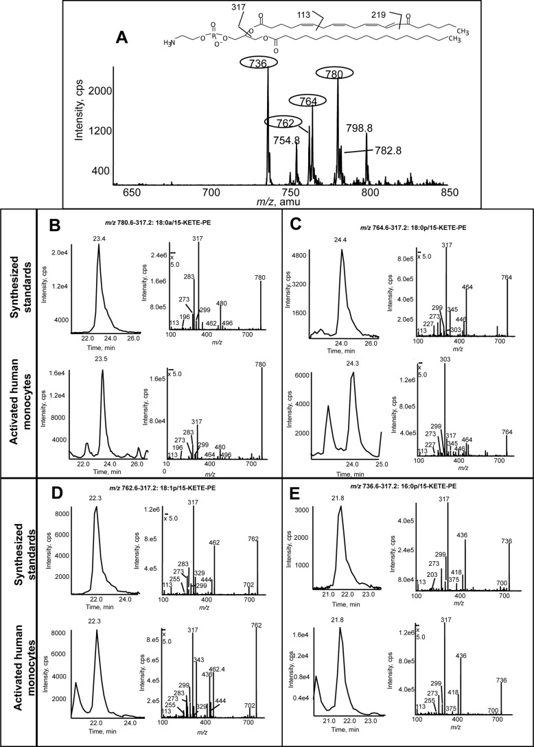 """Human monocytes generate four 15-KETE-PEs. Human monocytes were isolated cultured with IL-4 as described under """"Experimental Procedures."""" Cells were activated in Krebs buffer with 10 μ m A23187 for 15 min at 37 °C. Lipids were extracted and analyzed using reverse phase LC/MS/MS as described. A , precursor scan for [M − H] − 317.2 shows four major ions generated by activated human monocytes. Four prominent ions are circled. B–E , representative chromatograms and MS/MS spectra of lipids detected as parent → 317.2 for the four lipids compared with synthetic standards. Standards were made as described ( 12 ) and run under conditions identical to those used for human monocyte lipid extracts. MS/MS spectra were acquired in ion trap mode at the apex of elution for each lipid. cps , counts/s."""