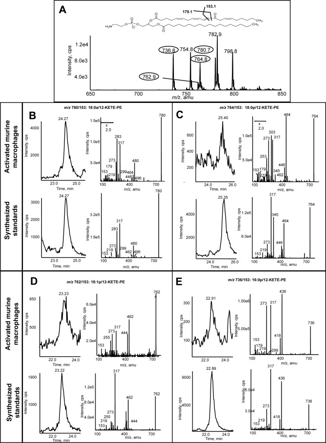 """Murine macrophages generate four 12-KETE-PEs. Murine peritoneal macrophages were isolated from WT mice (8–12 weeks) by lavage with ice-cold PBS. Cells were activated at 37 °C for 15 min with 10 μ m A23187, and then lipids were extracted and analyzed using LC/MS/MS as described under """"Experimental Procedures."""" A , precursor scan for [M − H] − 317.2 shows four major ions generated by murine macrophages. Four prominent ions are circled. B–E , representative chromatograms and MS/MS spectra of lipids detected as parent → 317.2 for the four lipids compared with synthetic standards. Standards were made as described ( 12 ) and run under conditions identical to those used for murine macrophage lipid extracts. MS/MS spectra were acquired in ion trap mode at the apex of elution for each lipid. cps , counts/s."""