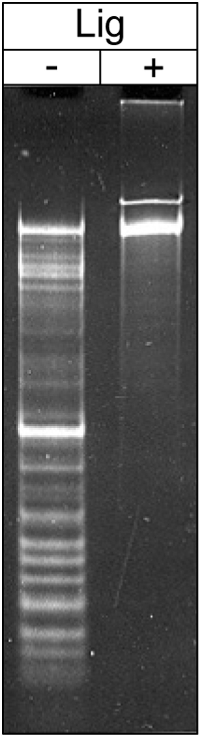 Identification and analysis of the localized nicks in tf DNA molecules. DNA preparation of bacteriophage tf was denatured in 0.1 M NaOH and subjected to electrophoresis in 0.9% agarose gel; in a control experiment a DNA from the same preparation was treated with T4 DNA ligase prior to denaturing in 0.1 M NaOH and electrophoresis.