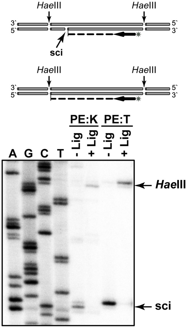 Primer extension analysis of the sci-14. The schematic of the experiment is shown at the top of the Figure: non-ligated (1) and ligated (2) DNA preparations were digested with HaeIII restriction endonuclease and primer extension reaction were performed using the same [ 32 P] labeled primer. The results of primer extension with Klenow fragment (PE:K) and Taq DNA polymerases (PE:T) are presented at the bottom part of the Figure. Bands corresponding to the stoppages at the sci-14 and Hae III sites are indicated by arrows. Sequencing ladders (A, G, C, T) were generated by Sanger sequencing of the T4 DNA ligase treated tf DNA employing the same [ 32 P] labeled primer used in primer extension.