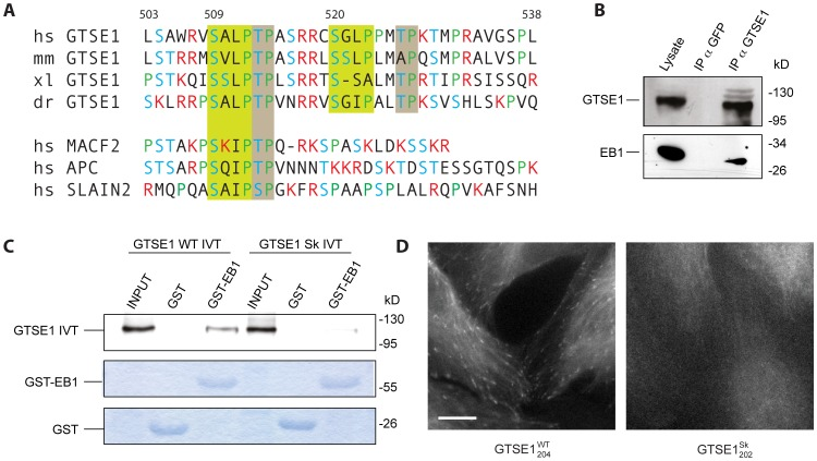 GTSE1 is recruited to microtubule plus ends through short EB1-interaction motifs. (A) Sequence alignment of hGTSE1 amino acids 503–538 that contain tandem conserved SKIP-like motifs. The first four rows contain GTSE1 homologs from human (hs), mouse (mm), Xenopus (xl) and zebrafish (dr). The last three rows show conserved regions from other human +TIPs. SKIP-like motifs are highlighted in green boxes. Conserved TP motifs are highlighted in grey boxes. Basic residues are colored red, serines and threonines are colored blue. (B) GTSE1 immunoprecipitates EB1 in U2OS cells. U2OS cell lysates were immunoprecipitated with anti-GTSE1 antibody, or anti-GFP as a control. Input lysate and immunoprecipitated fractions were run by SDS-PAGE and Western blotted with either anti-GTSE1 or anti-EB1 antibody. (C) In vitro pull-down binding assay using purified GST or GST-EB1 fusion proteins incubated with in vitro translated 35 S-labeled GTSE1 WT (hGTSE1 WT IVT) or GTSE1 mutated at the SKIP motifs (L511N P512N L522N P523N) (GTSE1 Sk IVT). Inputs represent 20% of IVTs used for pull-down assays. The top gel shows IVT GTSE1 by autoradiograph, bottom gels are commassie stained. GST-EB1 interacts with in vitro translated GTSE1, but not GTSE1 mutated at SKIP motifs. (D) Still images of live clonal U2OS cells expressing wild type GTSE1-GFP (GTSE1 WT 204 ) or GTSE1-GFP mutated at the SKIP motifs (L511N P512N L522N P523N) (GTSE1 Sk 202 )( Movie S4 ). Similar to EB1 depletion, the mutated GTSE1-GFP does not track growing microtubule tips, but localizes to the microtubule lattice. All scale bars represent 10 microns.