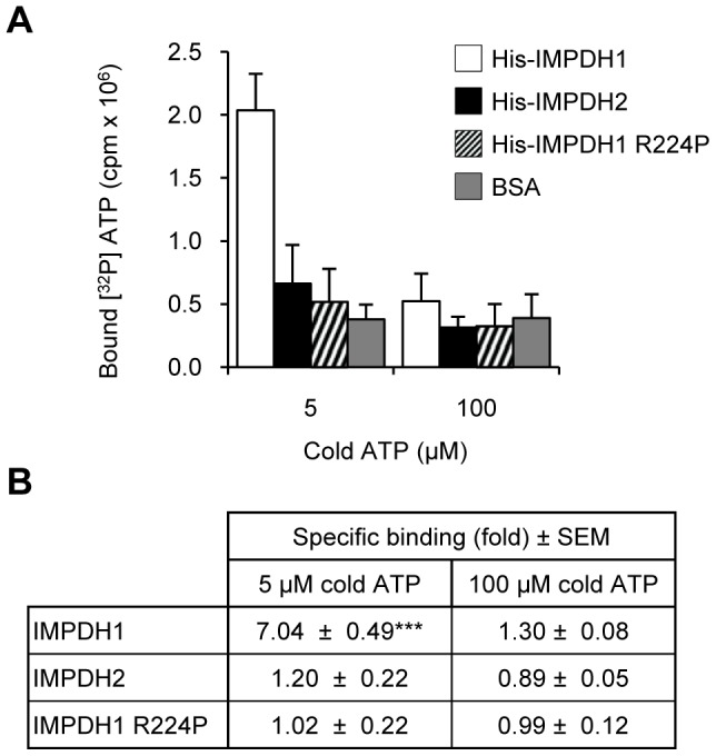 IMPDH1 directly binds ATP. (A) Representative ATP binding experiment with His-IMPDH proteins, shows [ 32 P] ATP bound to His-IMPDH1 only in the presence of 5 µM cold ATP. Data represents mean counts ± SD. (B) Specific binding was determined by expressing the counts per reaction as a fold over the non-specific counts present in the BSA sample. Shown is the mean specific binding ± SEM (fold over non-specific binding) from three to six independent experiments (*** p
