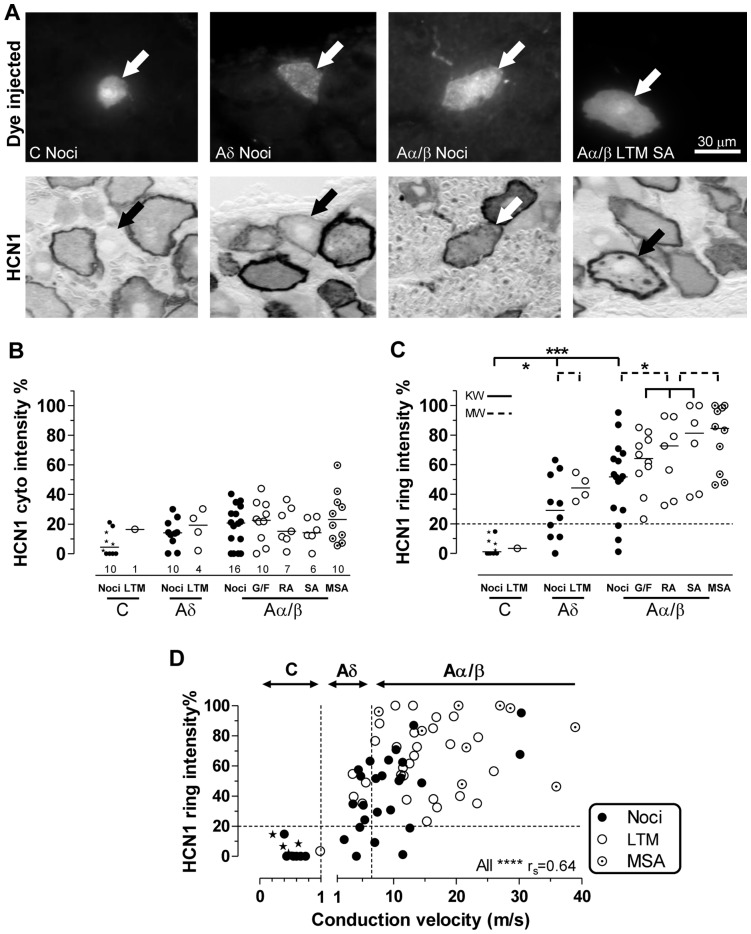 HCN1 immunointensity, sensory properties and CV. Images captured with 40X objective. A: From the left, a C-nociceptor, an Aδ-nociceptor, an Aα/β-nociceptor and an Aα/β-LTM SA unit all indicated by arrows. Top: fluorescent dye-injected neurons; bottom: bright field images of the same neurons after HCN1 immunocytochemistry (ABC). B–D: Relative intensities (see Methods) of HCN1 ring and cytoplasmic staining as a percentage of maximum ring intensity are plotted. B and C: scatter plots of HCN1 relative immunostaining intensity for different sensory properties. B: cytoplasmic staining, C: membrane-associated (ring) staining; above 20% (dotted line) ring staining is usually visible. Each symbol represents a single dye-injected neuron. Abbreviations: Noci: nociceptors; LTM: low threshold mechanoreceptor; G/F G hair or field unit; SA: slowly adapting; RA: rapidly adapting; MSA: muscle spindle afferent. Star symbols indicate C− and Aδ-nociceptor-type neurons. Tests were Kruskall-Wallis (solid lines) for comparison of 3 or more groups, or Mann-Whitney tests (for two groups, dotted lines). For more detail and significance levels see Methods. D: HCN1 ring relative intensity versus CV; vertical dotted lines indicate borderlines between C−, Aδ-, and Aα/β-fiber CVs. HCN1 ring intensities were highly correlated with CV in nociceptors (Spearman's correlation, r s = 0.7, p