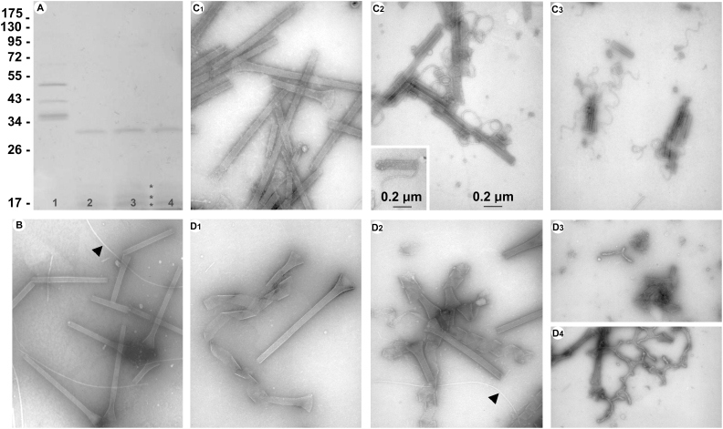Disintegration of Roseobacter sp. YSCB spinae upon proteolysis or thermal treatments. Purified spinae were examined with SDS-PAGE on 12.5% gels (A, sizes of protein markers on left) or by TEM (negatively stained) without treatment (A, lane 1 and B), or digested with proteinase K at a concentration of 2 mg/ml (A, lane 2; C1), 10 mg/ml (A, lane 3; C2) and 20 mg/ml (A, lane 4; C3), or heated at 100°C for 1 min (D1), 5 min (D2), 10 min (D3 and D4). Insert in C2 shows a single filament winding into the tubular structure. The arrow in B indicates flagellar filament. Asterisks in panel A indicate proteolysis products.