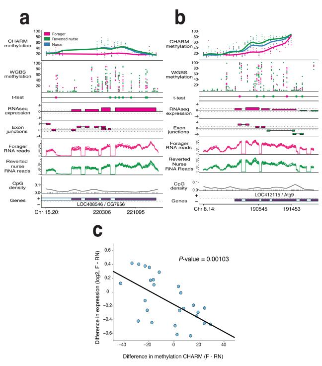 DNA methylation distinguishes nurses, foragers and reverted nurses Two examples of CHARM DMRs. a-b , Top panels show percent methylation for both CHARM and WGBS data sets, with points representing individual samples, and the smoothed lines representing the average for the phenotype. The t-test panel displays the top 1% differentially methylated CpGs by t-test. Color of the point indicates which phenotype has greater methylation at that CpG ( n =6 per phenotype). The RNAseq expression panel is a t-statistic based on the number or reads detected within the annotated exons, with the color indicating the higher expressed phenotype. The Exon junctions panel is a t-statistic based on the number or reads detected spanning the exon junctions, as predicted by the TopHat program, with the color indicating the higher expressed phenotype. Switching between higher expressed nurse and forager exon junctions is indicative of alternative splicing events. The RNA reads panels indicate the number of reads per phenotype as compiled by TopHat program ( n =6 per phenotype). The bottom two panels show the CpG density, and the relative position of the gene. c . Plot of relative gene expression comparing foragers to reverted nurses. 26 genes associated with DMRs were tested for gene expression differences by real-time PCR ( n =12 per phenotype). The plot depicts the difference in average log2 expression versus average difference in methylation as determined by CHARM. Correlation analysis results in a P -value of 0.001.