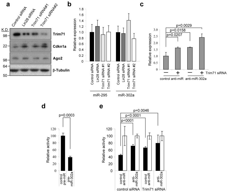 Trim71 cooperates with miR-302 to inhibit Cdkn1a expression (a) Trim71 depletion leads to upregulation of Cdkn1a. The same cell extracts from Fig. 1(d) were blotted with α-Cdkn1a antibody. (b) TaqMan PCR for mature miR-295 and miR-302a levels (normalized to snoRNA142). Error bars represent mean +/− S.D. with n=3. (c) J1 ESCs transfected with Trim71 siRNA or control siRNA, together with anti-miR-302a or control inhibitor, as indicated. 60 hours post-transfection total RNA was analyzed by qRT-PCR for Cdkn1a mRNA levels (normalized to β-Actin). Error bars represent mean +/− S.D. with n=3. (d) Reporter assays were performed using a firefly luciferase that contains a miR-302 binding site from the mouse Cdkn1a 3′ UTR. A control pre-miRNA or pre-miR-302a was transfected into HeLa cells that do not express ESC-specific miRNAs. Signals were normalized to Renilla luciferase levels. Normalized signals for the pre-miR control were set to 100. (e) Reporter assays were performed 60 hours post-transfection using the same luciferase constructs as in (d) as well as with a mutant reporter (mut) in which nucleotides corresponding to the miR-302 seed sequence were mutated. Normalized signals for the mutant construct were set to 100 in each condition. Error bars represent mean +/− S.D. with n=3. The p values are from two-tailed t test.