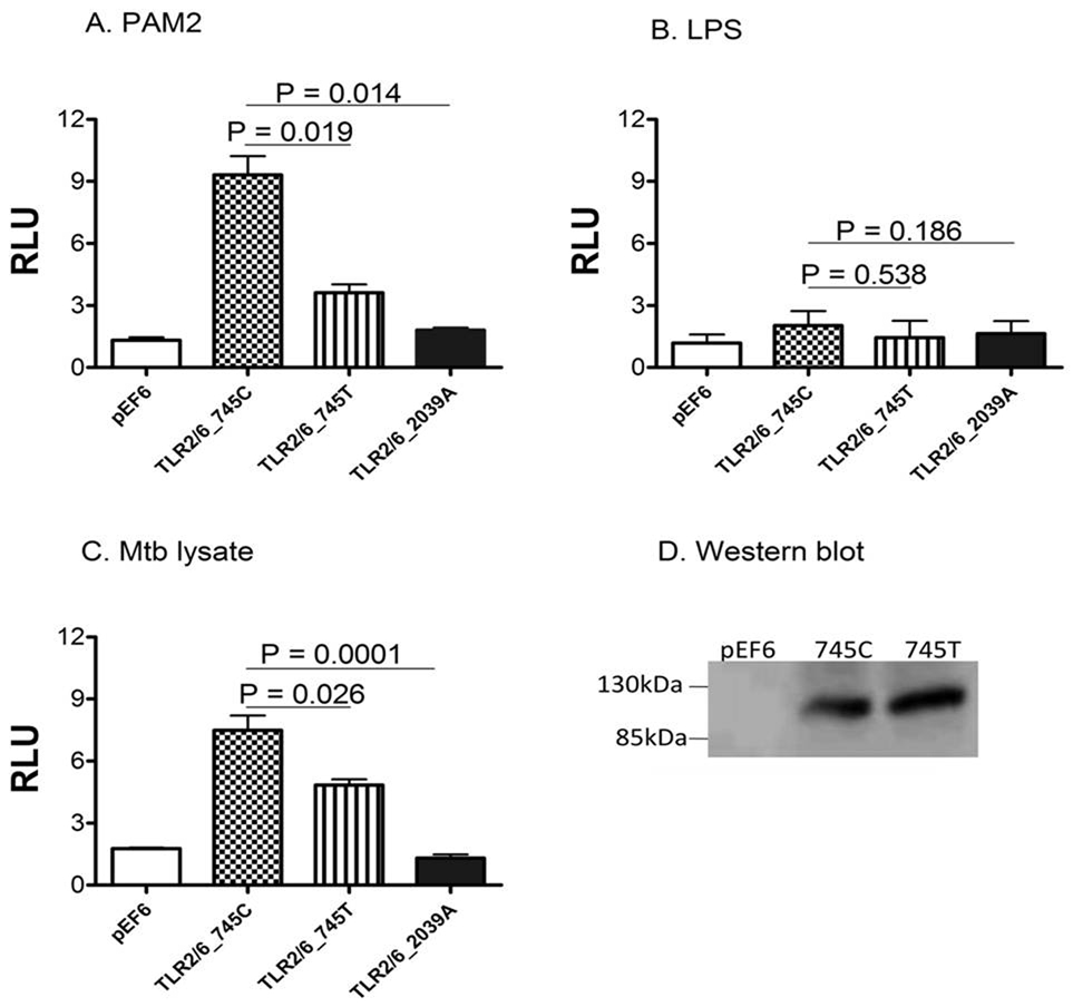 Regulation of NF-κB signaling by a TLR6 polymorphism HEK293 cells were transfected with an NF-κB luciferase reporter, a Renilla luciferase construct to control for transfection efficiency (pRL-TK), and CD14. Additional transfectants varied by condition and included an empty plasmid vector (EV), or, TLR2 with one of 3 TLR6 constructs, 745C, 745T, or 2039A. Polymorphism C2039A (P680H) is a TLR6 variant with a dominant–negative effect on NF-κB signaling. Luciferase activity shown represents the ratio between basal activity (medium only) and that of transfected cells stimulated with (A) PAM2, (B) LPS, or (C) Mtb Lysate. Mean values (+/− standard deviation) are depicted for three independent experiments, each performed in triplicate. P values calculated with Student's t-test. RLU, relative luciferase units. (D) Expression of TLR6 745C (wild type) and 745T (variant) by immunoblotting using transfected but unstimulated HEK293 cells.